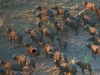Afrikas Gorongosa Buffualos