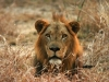 Gorongosa Löwe in Südostafrika